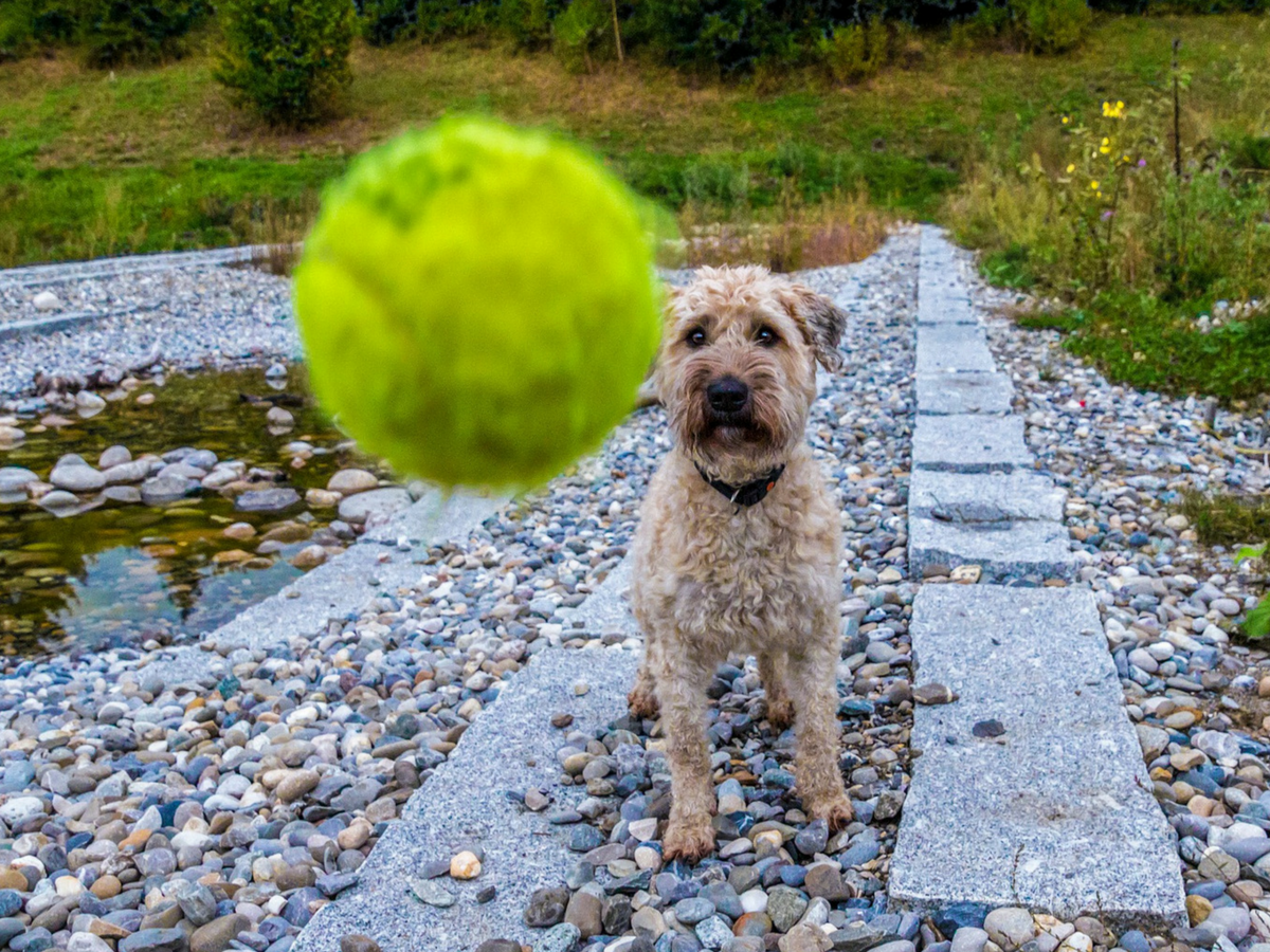 Why tennis balls aren't safe for your dog