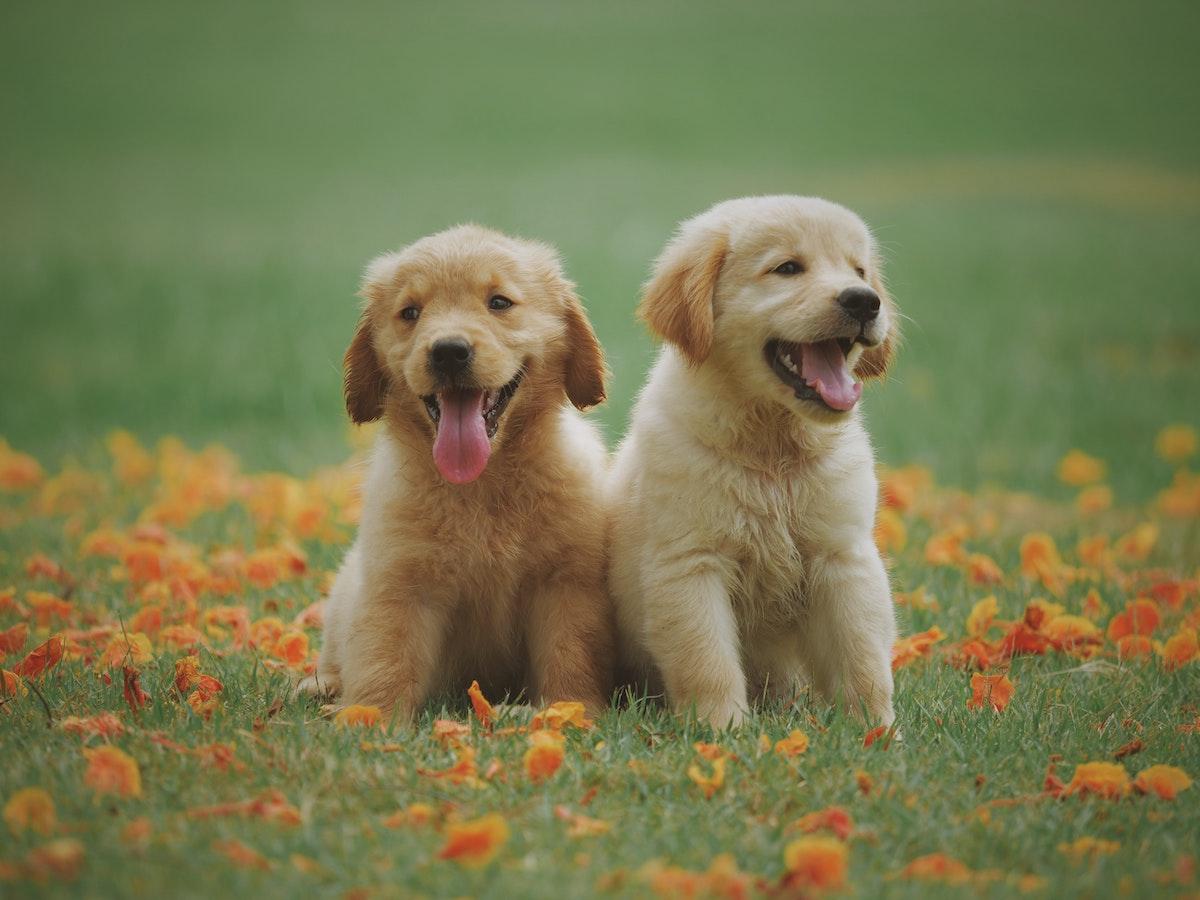 puppy farm