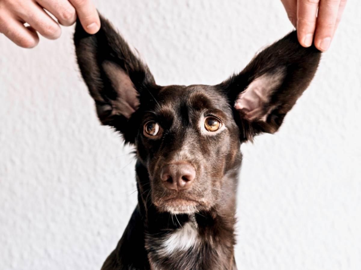 noise phobia dogs