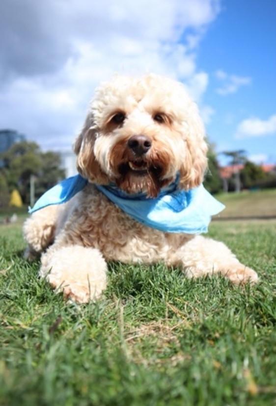 lyka story bailey spoodle fresh dog food